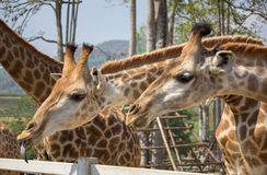 Giraffe κεφάλι στον εθνικό ζωολογικό κήπο Στοκ Εικόνες