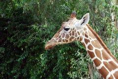 Giraffe κεφάλι στο υπόβαθρο εγκαταστάσεων Στοκ εικόνες με δικαίωμα ελεύθερης χρήσης