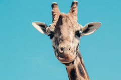 Giraffe κεφάλι Στοκ εικόνες με δικαίωμα ελεύθερης χρήσης