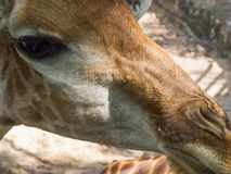Giraffe κεφάλι Στοκ Εικόνες