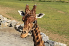 Giraffe κεφάλι Στοκ εικόνα με δικαίωμα ελεύθερης χρήσης