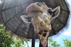 Giraffe κινηματογράφηση σε πρώτο πλάνο κάτω από την ομπρέλα Στοκ Φωτογραφία