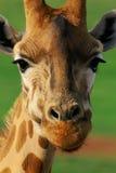 Giraffe κινηματογράφηση σε πρώτο πλάνο Στοκ Εικόνες