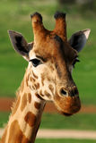 Giraffe κινηματογράφηση σε πρώτο πλάνο Στοκ εικόνα με δικαίωμα ελεύθερης χρήσης