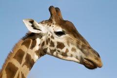 Giraffe κινηματογράφηση σε πρώτο πλάνο Στοκ Εικόνα