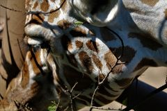 Giraffe κινηματογράφηση σε πρώτο πλάνο στοκ φωτογραφία με δικαίωμα ελεύθερης χρήσης