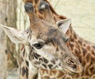 Giraffe κινηματογραφήσεων σε πρώτο πλάνο κεφάλι Στοκ Φωτογραφίες