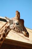 giraffe κινηματογραφήσεων σε πρώτο πλάνο κεφάλι Στοκ εικόνες με δικαίωμα ελεύθερης χρήσης