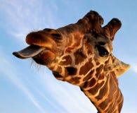 giraffe κινηματογραφήσεων σε π& Στοκ Εικόνες