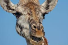 giraffe κινηματογραφήσεων σε π& Στοκ Εικόνα