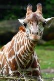 giraffe κοιτάζει επίμονα Στοκ Φωτογραφίες