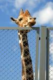 Giraffe κοιτάζει στους ανθρώπους μέσω του φράκτη αλιείας με δίχτυα καλωδίων στο ζωολογικό κήπο Στοκ Φωτογραφίες