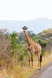 giraffe κοντά στην οδική στάση Στοκ εικόνες με δικαίωμα ελεύθερης χρήσης