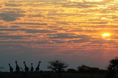 Giraffe κοπάδι που στέκεται σε ένα τοπίο ανατολής, etosha nationalpark, Ναμίμπια Στοκ Εικόνες