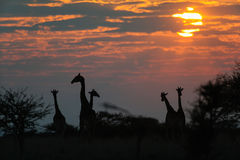 Giraffe κοπάδι στην ανατολή, etosha nationalpark, Ναμίμπια Στοκ Εικόνες