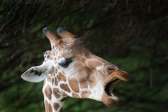 Giraffe κουτσομπολιό Στοκ Φωτογραφίες