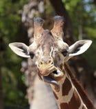 Giraffe κολλά έξω τη γλώσσα του Στοκ εικόνες με δικαίωμα ελεύθερης χρήσης