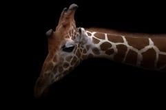 Giraffe κρύψιμο στο σκοτάδι Στοκ φωτογραφίες με δικαίωμα ελεύθερης χρήσης