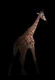 Giraffe κρύψιμο στο σκοτάδι Στοκ εικόνες με δικαίωμα ελεύθερης χρήσης