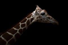 Giraffe κρύψιμο στο σκοτάδι Στοκ Φωτογραφία