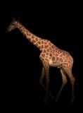 Giraffe κρύψιμο στο σκοτάδι Στοκ Εικόνες