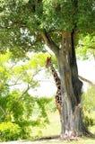 giraffe κρύψιμο Στοκ φωτογραφία με δικαίωμα ελεύθερης χρήσης