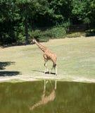 Giraffe λίμνη Στοκ φωτογραφίες με δικαίωμα ελεύθερης χρήσης