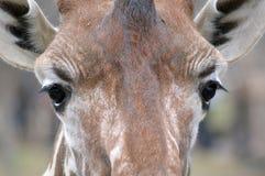 Giraffe μάτια Στοκ Φωτογραφία