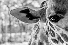 Giraffe μάτι Στοκ Φωτογραφίες