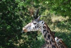 Giraffe με μια κατσαρωμένη επάνω γλώσσα Στοκ Εικόνες