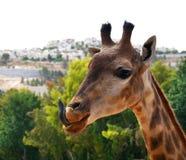 Giraffe με μια τοποθέτηση Στοκ Φωτογραφία