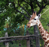Giraffe με την εκτεταμένη γλώσσα Στοκ Εικόνες