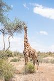 Giraffe με τη γλώσσα ορατή Στοκ Εικόνες