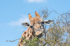 Giraffe με τη γλώσσα ορατή Στοκ φωτογραφίες με δικαίωμα ελεύθερης χρήσης