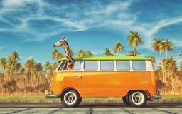 Giraffe με το αυτοκίνητο στην εθνική οδό Στοκ εικόνες με δικαίωμα ελεύθερης χρήσης