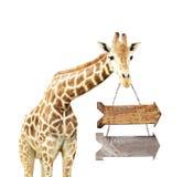 Giraffe με δύο ξύλινα βέλη Στοκ Εικόνες