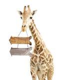 Giraffe με δύο ξύλινα βέλη Στοκ φωτογραφία με δικαίωμα ελεύθερης χρήσης