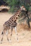 Giraffe Ναμίμπια Στοκ φωτογραφίες με δικαίωμα ελεύθερης χρήσης
