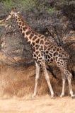 Giraffe Ναμίμπια Στοκ Εικόνες