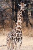 Giraffe Ναμίμπια Στοκ φωτογραφία με δικαίωμα ελεύθερης χρήσης