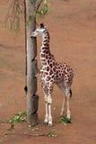 giraffe νεολαίες Στοκ φωτογραφία με δικαίωμα ελεύθερης χρήσης