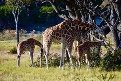 Giraffe οικογένεια, ενήλικοι και νεολαίες πρεσβευτών: Camelopardalis Giraffa Στοκ Εικόνα