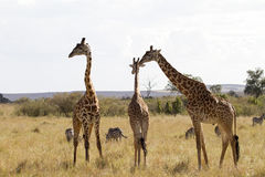 Giraffe οικογένεια στη Νότια Αφρική Στοκ φωτογραφίες με δικαίωμα ελεύθερης χρήσης