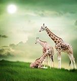 Giraffe οικογένεια Στοκ φωτογραφίες με δικαίωμα ελεύθερης χρήσης