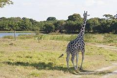 Giraffe, πάρκο Yumka, Villahermosa, Tabasco, Μεξικό Στοκ Φωτογραφία