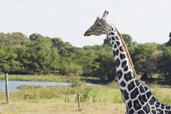 Giraffe, πάρκο Yumka, Villahermosa, Tabasco, Μεξικό Στοκ φωτογραφία με δικαίωμα ελεύθερης χρήσης