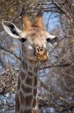 Giraffe πάρκων Kruger Στοκ Φωτογραφίες