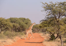 Giraffe πέρασμα Στοκ φωτογραφίες με δικαίωμα ελεύθερης χρήσης