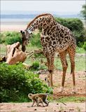 giraffe πίθηκοι στοκ φωτογραφίες