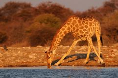 Giraffe πίνει σε ένα waterhole, etosha nationalpark, Ναμίμπια Στοκ φωτογραφίες με δικαίωμα ελεύθερης χρήσης